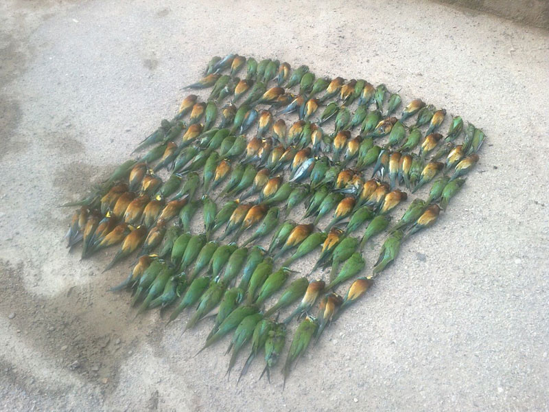 دستگیری متخلف کشتار 254 قطعه پرنده زنبورخوار