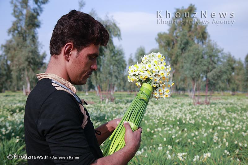 ۴۰ شاخه گل نرگس معادل قیمت یک بشکه نفت