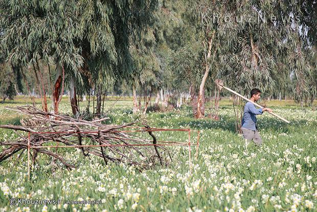 تصاویر / یک شاخه نرگس