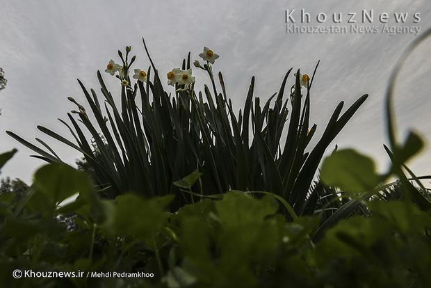 تصاویر / آخرین روزهای برداشت گل نرگس