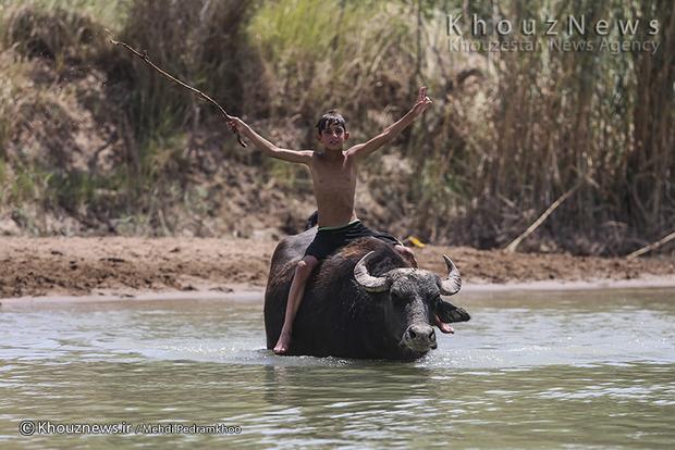 تصاویر / شنا و بازی کودکان حمیدیه با گاومیش ها در کرخه