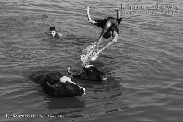 تصاویر/ گاومیش داری میراث رو به فراموشی در اهواز