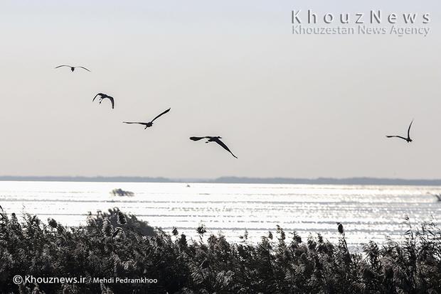 تصاویر / بازگشت پرندگان به تالاب هور العظیم